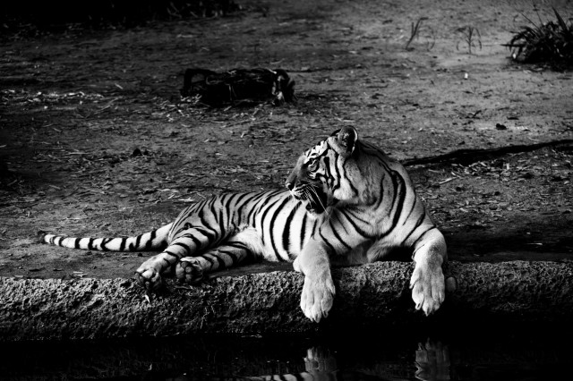 An amazing view of one of the tigers at the Houston Zoo lounging next to the watering hole.