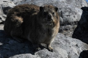 Table Mountain Dassie Portrait